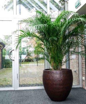 Areca palm kantoor