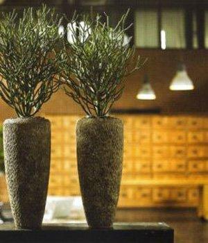 Euphorbia tirucalli in Polystone Couple smoke