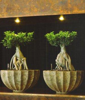 Ficus microcarpa Ginseng in Polystone Rock bowl
