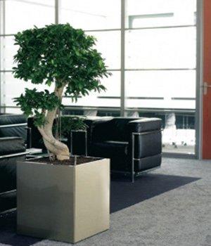 Ficus microcarpa compacta i