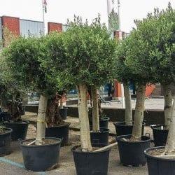 Olijfbomen Olea Europaea